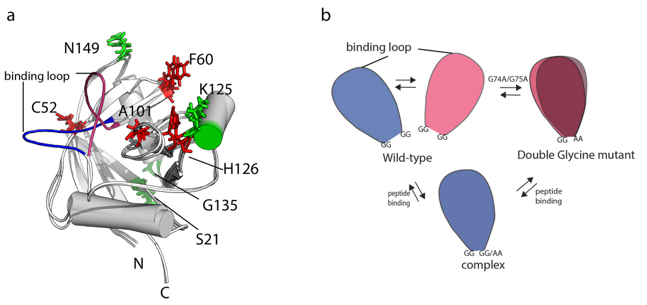 Protein conformational dynamics and function